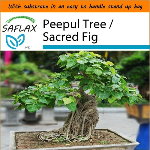 SAFLAX Garden in the Bag - Bonsai - Peepul Tree / Sacred Fig - Ficus - 100 seeds
