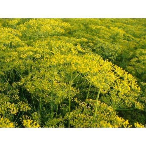 Herb - Dill - Dukat - 3000 Seeds
