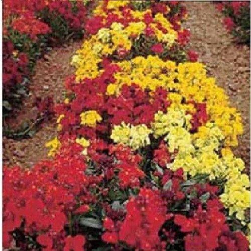Mr Fothergills - Pictorial Packet - Flower - Wallflower - Dwarf Bedding Mixed - 500 Seeds