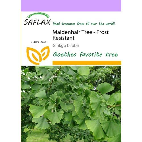 Saflax  - Maidenhair Tree - Ginkgo Biloba - 4 Seeds