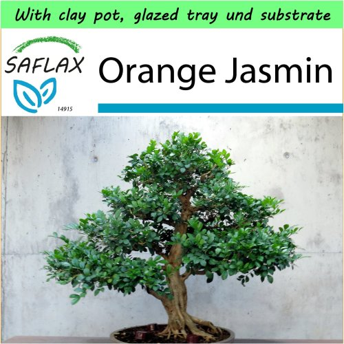 SAFLAX Garden to Go - Bonsai - Orange Jasmin - Murraya - 12 seeds