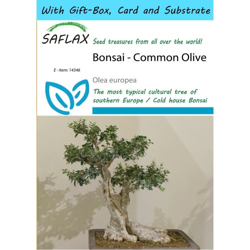 Saflax Gift Set - Bonsai - Common Olive - Olea Europea - 20 Seeds - with Gift Box, Card, Label and Potting Substrate