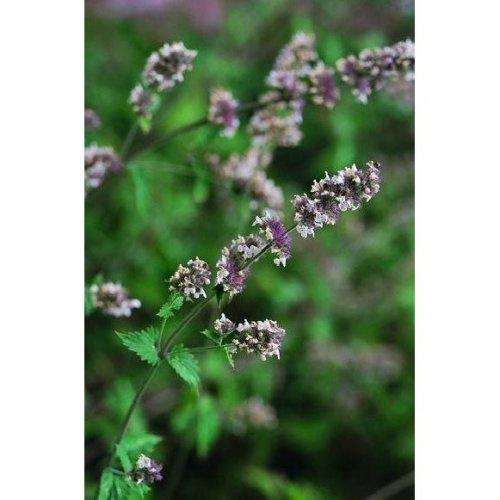 Herb - Catmint - Catnip - 7500 Seeds