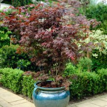 Japanese Maple Shrub Collection (Acer palmatum) 3 Varieties in 10.5cm Pots