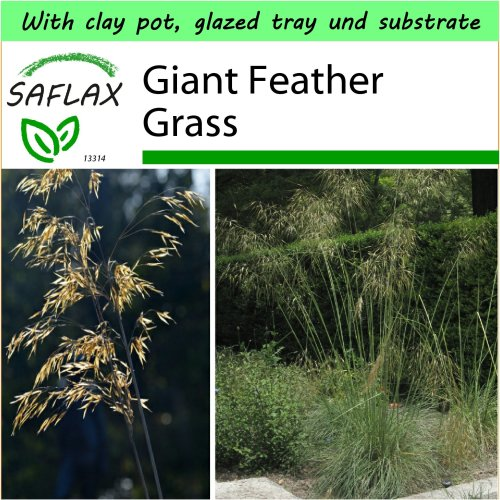 SAFLAX Garden to Go - Giant Feather Grass - Stipa gigantea - 10 seeds - With clay pot, glazed tray, potting substrate and fertilizer