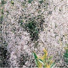 Flower - Gypsophila - Snowflake - 300 Seeds