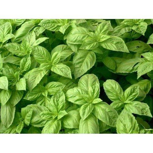 Herb - Basil - Nufar hybrid - 250 Seeds
