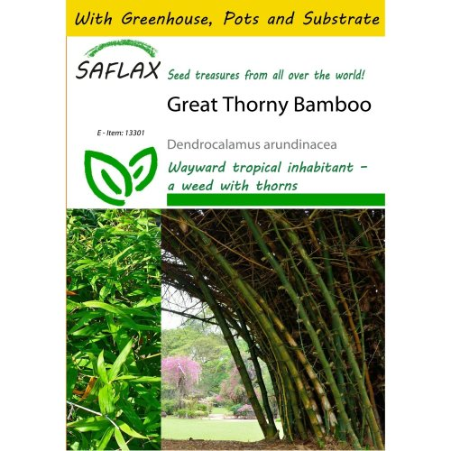 Saflax Potting Set - Great Thorny Bamboo - Dendrocalamus Arundinacea - 50 Seeds - with Mini Greenhouse, Potting Substrate and 2 Pots