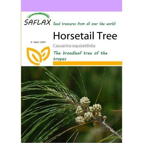 Saflax  - Horsetail Tree - Casuarina Equisetifolia - 200 Seeds