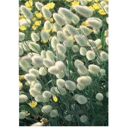 Grass  - Bunny's Tails - Lagurus Ovatus - 500 Seeds