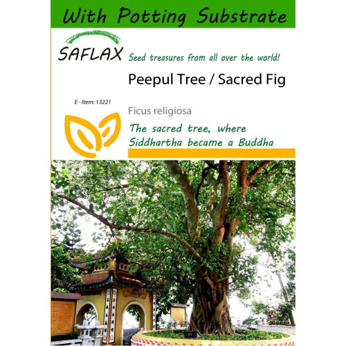 Saflax  - Peepul Tree / Sacred Fig - Ficus Religiosa - 100 Seeds - with Potting Substrate for Better Cultivation