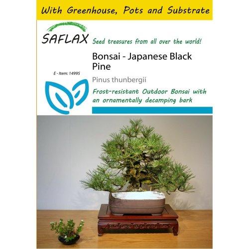 Saflax Potting Set - Bonsai - Japanese Black Pine - Pinus Thunbergii - 30 Seeds - with Mini Greenhouse, Potting Substrate and 2 Pots